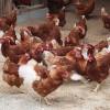 強制換羽は鶏への虐待